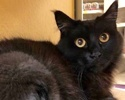 A picture of #ET01856: Jesara a Domestic Medium Hair black