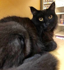 [another picture of Jesara, a Domestic Medium Hair black\ cat]