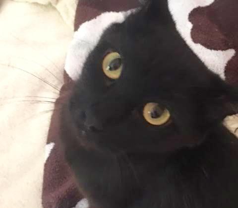 [picture of Jesara, a Domestic Medium Hair black cat]