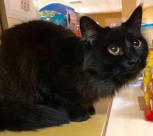 [picture of Jesara, a Domestic Medium Hair black\ cat]