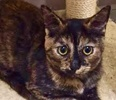 A picture of #ET01857: Gisele a Domestic Short Hair torie