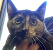 A picture of #ET01858: Gemmy a Domestic Short Hair tortie