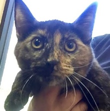 [another picture of Gemmy, a Domestic Short Hair tortie\ cat]