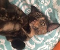 [picture of Gemmy, a Domestic Short Hair tortie cat]