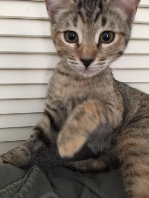 [picture of Fawn, a Domestic Short Hair gray tabby cat]