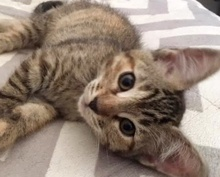 [picture of Fawn, a Domestic Short Hair gray tabby\ cat]
