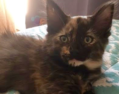 [picture of Coey, a Maine Coon-x torbie\ cat]