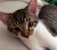 A picture of #ET01863: Dex a Domestic Short Hair black tabby/white
