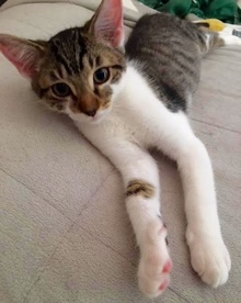 [picture of Dex, a Domestic Short Hair black tabby/white cat]