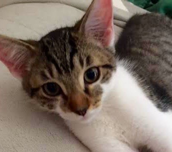 [picture of Dex, a Domestic Short Hair black tabby/white\ cat]