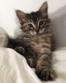 [another picture of Bearpaw, a Maine Coon-x gray tabby\ cat]