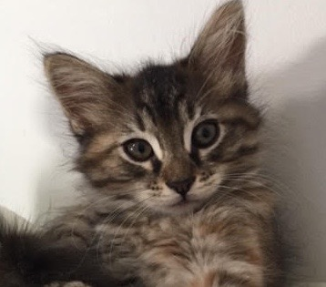 [picture of Bearpaw, a Maine Coon-x gray tabby\ cat]