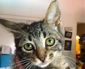 A picture of #ET01865: Teeji a Domestic Short Hair gray tabby