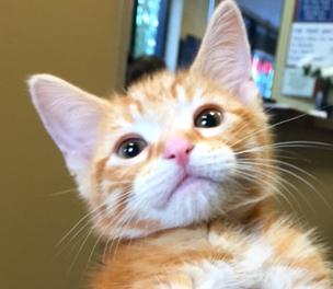[picture of Bubbi, a Domestic Short Hair orange swirl\ cat]