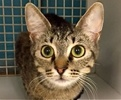 A picture of #ET01868: Templey a Domestic Short Hair gray tabby