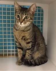 [picture of Temperly, a Domestic Short Hair gray tabby cat]