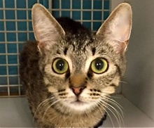 [picture of Templey, a Domestic Short Hair gray tabby\ cat]