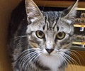 A picture of #ET01869: Lisbon a Domestic Short Hair gray tabby/white
