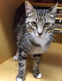 [another picture of Lisbon, a Domestic Short Hair gray tabby/white\ cat]