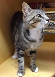 [picture of Lisbon, a Domestic Short Hair gray tabby/white cat]