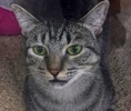 A picture of #ET01870: Lexie a Domestic Short Hair gray tabby
