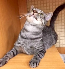 [another picture of Lexie, a Domestic Short Hair gray tabby\ cat]