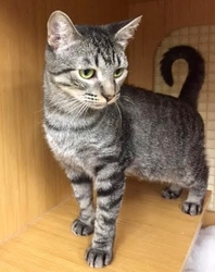 [picture of Lexie, a Domestic Short Hair gray tabby cat]