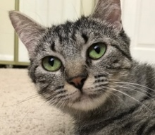 [picture of Lexie, a Domestic Short Hair gray tabby\ cat]