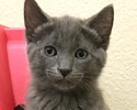 A picture of #ET01871: Ashton a Russian Blue Mix blue