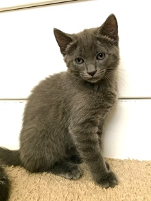 [another picture of Ashton, a Russian Blue Mix blue\ cat]