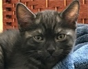 A picture of #ET01872: Ember a Egyptian Mau Mix Smoke