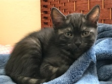 [picture of Ember, a Egyptian Mau Mix Smoke cat]