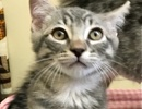 A picture of #ET01873: Cruzer a Domestic Short Hair silver tabby