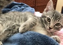 [another picture of Cruzer, a Domestic Short Hair silver tabby\ cat]