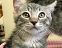 [picture of Cruzer, a Domestic Short Hair silver tabby\ cat]