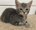 A picture of #ET01874: Pearl a Domestic Short Hair silver tabby