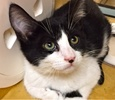 A picture of #ET01875: Bizzo a Domestic Short Hair black/white tuxedo