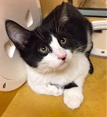 [another picture of Bizzo, a Domestic Short Hair black/white tuxedo\ cat]