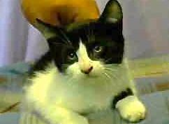 [picture of Bizzo, a Domestic Short Hair black/white tuxedo\ cat]
