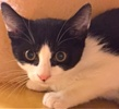 A picture of #ET01876: Bonzo a Domestic Short Hair black/white tuxedo