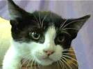 [picture of Bonzo, a Domestic Short Hair black/white tuxedo cat]