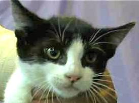 [picture of Bonzo, a Domestic Short Hair black/white tuxedo\ cat]