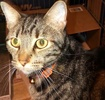 A picture of #ET01877: Richard a Domestic Short Hair brown marble tabby