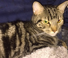 [picture of Richard, a Domestic Short Hair brown marble tabby\ cat]