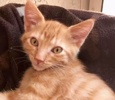 A picture of #ET01879: Oscar a Domestic Short Hair orange tabby