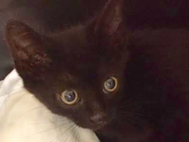 [picture of Harvard, a Domestic Short Hair black\ cat]