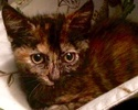 A picture of #ET01883: Villanova a Domestic Short Hair tortie