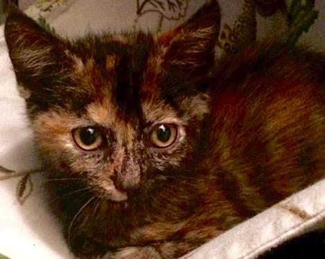 [picture of Villanova, a Domestic Short Hair tortie\ cat]