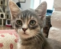 A picture of #ET01884: Ophelia a Domestic Short Hair silver