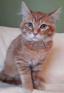 [another picture of Royal, a Domestic Medium Hair orange\ cat]